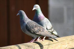 pigeons-1033345_640